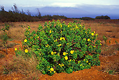 A native hibiscus growing on the island of Kahoolawe