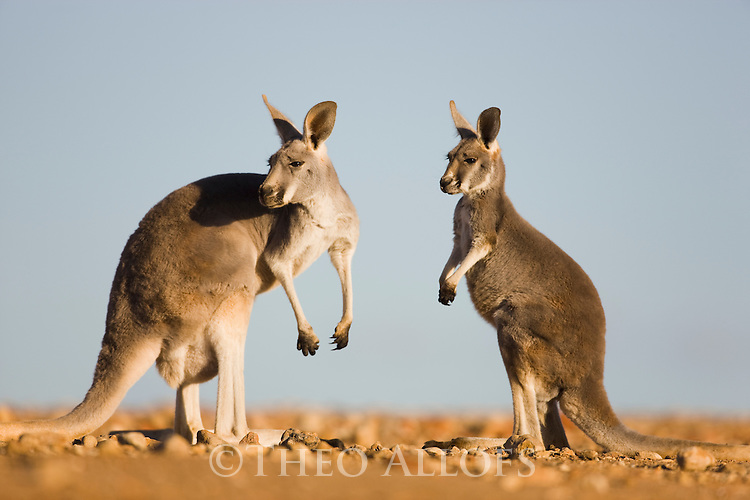 Australia,  NSW, Sturt National Park; red kangaroo mother with joey(Macropus rufus); the red kangaroo population increased dramatically after the recent rains in the previous 3 years following 8 years of drought