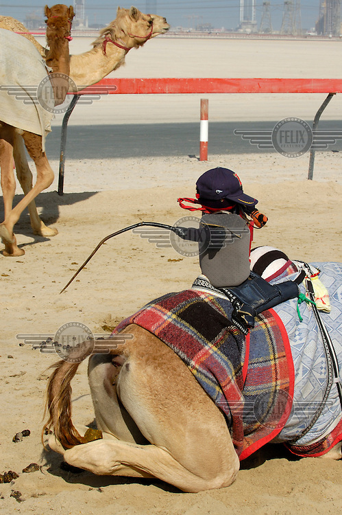 Modernisation of camel racing - a robot jockey, one of the responses to an official ban on child jockeys, mounted on a camel's back.