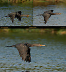 Cormorant in Flight Double-crested Cormorant Sepulveda Wildlife Refuge Southern California Composite Image
