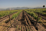 Chile Wine Country: Vineyards at Undurraga Winery, Vina Undurraga, near Santiago..Photo #: ch423-32825..Photo copyright Lee Foster, 510-549-2202, www.fostertravel.com, lee@fostertravel.com.