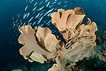 Elephant ear sponge (Ianthella basta) in the reef. Misool, Raja Ampat, West Papua, Indonesia,  January 2010