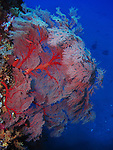 Orchid Island, Taiwan -- Huge Gorgonian sea fan on the Ba Dai ship wreck.<br />