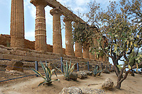 Low angle view of the long side of the Temple of Juno or Hera Lacinia, c.450 BC, Agrigento, Sicily, Italy, pictured on September 11, 2009, in the morning with surrounding vegetation. This temple was built on an artificial spur. Standing on a high rectangular platform above four steps its 34 fluted columns consist of four tamburi or drums and are each 6.32 meters high. Today, 30 columns are standing but only sixteen with their capitals. After being damaged in the fire of 406 BC it was restored in Roman times, and again in 1787 by the Prince of Torremuzza. The Valley of the Temples is a UNESCO World Heritage Site. Picture by Manuel Cohen.