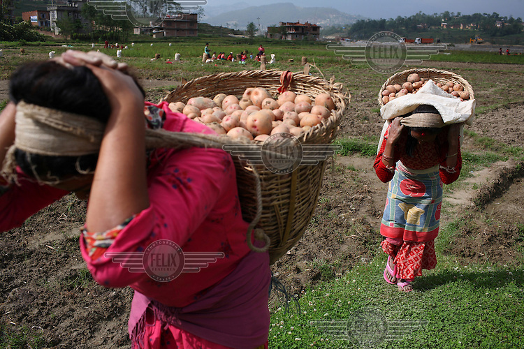 Villagers harvest potatoes in Panuti. The potato is now Nepal's second staple food crop, after rice, and per capita consumption has almost doubled since 1990, to 51 kg a year. Potatoes are widely grown all over the country, from below 100m altitude in the south to as high as 4,000m in the northern mountain regions. The tuber is particularly favoured by farmers in the high hill areas (roughly 1,800 to 3,000m), as it is more productive than rice and maize, and the cool climate is well suited to production of seed tubers for sale at lower altitudes. .