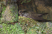 Sooty Swift (Cypseloides fumigatus) nesting on a cliff, Southeast Brazil.