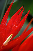 Detail of a red bract with a white flower of Heliconia angusta cv. Christmas or Holiday with foliage in the background