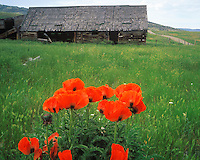 Old Barn and Flowerbed, Pony, Montana