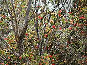 Red 'ohia lehua blossoms speckle an 'ohia lehua tree along the Pu'u Wa'awa'a Ahupua'a crater hike, Big Island.