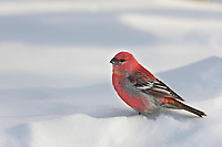 Male Pine grosbeak, arctic, Alaska.