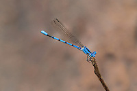 338430007 a wild male california dancer argia argioides perches on a grass stem along the frenchmans flat area of piru creek in los angeles county california united states