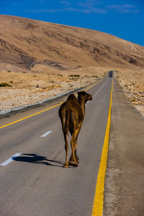 A camel walks on a road in the Negev Desert, Israel.