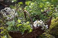 Heilsame Sträucher im Frühjahr, Kräuter sammeln, Kräuterernte, Erntekorb, Korb, Wildpflanzen sammeln, Frühjahskur, Blutreinigung. Gewöhnliche Schlehe, Schwarzdorn, Blüte, Blüten, Schlehenblüte, Prunus spinosa, Blackthorn, Sloe, Epine noire, Prunellier. Brombeere, Echte Brombeere, Rubus fruticosus agg., Rubus sectio Rubus, blackberry, bramble, ronce, Blatt, Blätter, leaf, leaves. Stiel-Eiche, Eichen,Stieleiche, Eiche, Quercus robur, Quercus pedunculata, English Oak, pedunculate oak, Le chêne pédonculé. Eingriffliger Weißdorn, Weissdorn, Weiß-Dorn, Weiss-Dorn, Crataegus monogyna, English Hawthorn, May, Aubépine monogyne. Vogel-Kirsche, Vogelkirsche, Kirsche, Süß-Kirsche, Süss-Kirsche, Süsskirsche, Süßkirsche, Wildkirsche, Wild-Kirsche, Kirschblüte, Blüte, Blüten, Prunus avium, Gean, Mazzard, Wild Cherry, Le merisier, cerisier des oiseaux. Wilde Himbeere, Himbeer-Ranken, Rubus idaeus, Raspberry, Rasp-berry, La framboise. Europäische Lärche, Larix decidua, European Larch, Le Mélèze d'Europe, Mélèze commun. Hunds-Rose, Hundsrose, Heckenrose, Rose, Wildrose, Rosa canina, Common Briar, Dog Rose, wild brier, Eglantier commun, Rosier des chiens. Gewöhnliche Hasel, Haselnuß, Haselnuss, Corylus avellana, Cob, Hazel, Coudrier, Noisetier commun.