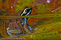 Poison frog (Ameerega simulans) carrying tadpoles to small pond in lowland tropical rainforest, Bahuaja-Sonene National Park, Puno, Peru.(phytotelma) in lowland tropical rainforest, Bahuaja-Sonene National Park, Puno,
