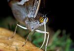 Purple Emperor Butterfly, Apatura iris, male, drinking on fallen fruit showing probiscus, Kent, tongue.United Kingdom....
