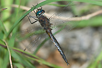 Unidentified Emerald Dragonfly, Ward Pound Ridge Reservation, Cross River, Westchester County, New York<br /> <br /> - has 2 small dark basal spots on hindwings<br /> - eyes green<br /> - relatively long cerci<br /> <br /> Tentative ID: Epitheca costalis - Slender Baskettail?