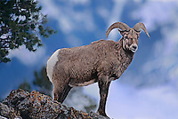 678503005 a wilbighorn sheep ram ovis canadensis stands on top of a rocky precipice near yellowstone national park wyoming