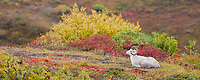 Panorama of a Dall sheep ram bedded down in the colorful autumn tundra in Polychrome pass in Denali National Park, Alaska.