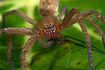 Hunting or Nursery Web Spider, Family Pisauridae, Manu Peru, close uup of face showing eight eyes, jungle, amazon, 8, fearsome.South America....