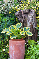 Hosta Great Expectations with yellow gold edges in terra cotta pot container with potentilla shrub in yellow flowers, ferns, variegated cornus, rustic piece of wood tree ornament