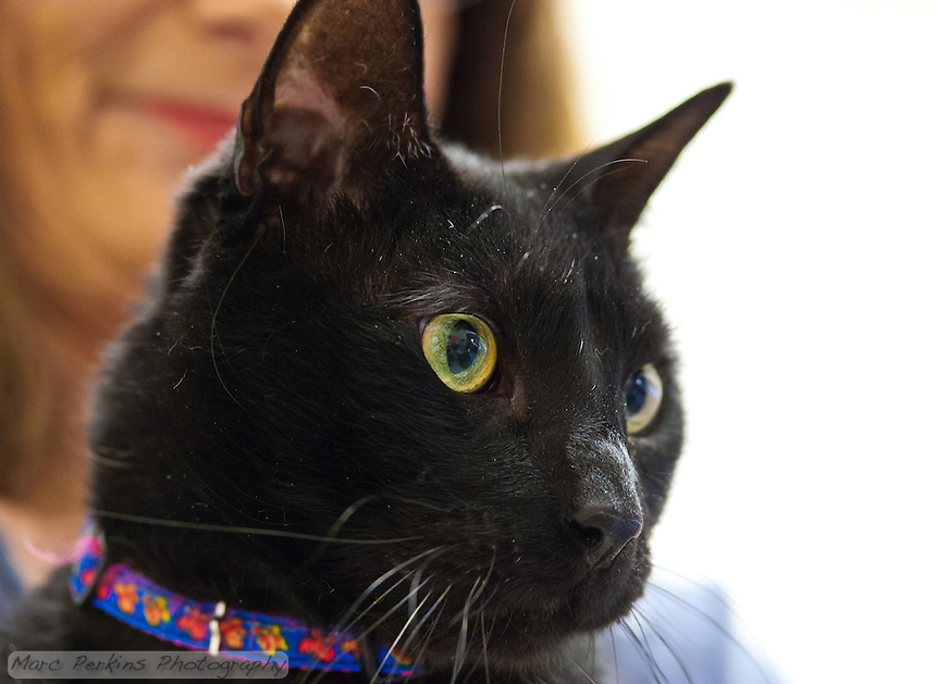 Hurricane, a seven year old male short-haired black cat, being held by Mindy, owner of Miss Kitty's Rescue.  Hurricane is a very intelligent, outgoing cat who loves people and is not afraid of anything, but who needs to live in a house without other pets as he can be aggressive to other dogs and cats.  Hurricane is up for adoption at Miss Kitty's Rescue in Costa Mesa, CA.  This picture was taken pro bono for Miss Kitty's Rescue to help them advertise the cats for adoption.