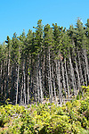 New Zealand, South Island: Monterey pine tree forest at resort Lochmara Lodge near town of Picton on Marlborough Sounds. Photo copyright Lee Foster. Photo # 125508