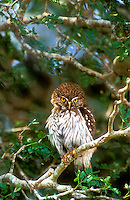 56399040 wild ferruginous pygmy owl glacidium brasillianum stares down from a perch in a high tree in tamaulipas state in mexico