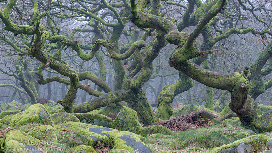 Sessile Oak {Quercus petraea} woodland supporting a dense carpet of mosses. Peak District National Park, Derbyshire, UK. February.
