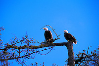 Two Mature Adult Bald Eagles (Haliaeetus leucocephalus) perched on Tree Branch