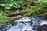 A stream of water rushes by verdant forest, moss, logs, and Devils Club (Oplopanax horridus, Araliaceae) in Buckhorn Wilderness, Olympic National Forest, Washington, on Big Quilcene Trail #833.1 near Marmot Pass. Washington, USA.