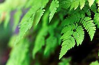 Ferns along Mt. Dewey Trail, Wrangell, Alaska, USA