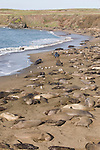 San Simeon, California; Northern Elephant Seals (Mirounga angustirostris) litter the beach at the Piedras Blancas rookery in early February, prime birthing and breeding season, the beach is populated with adult males fiighting for the right to mate and mothers giving birth and nursing their young