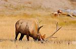 Bull Elk Displaying in Meadow, Norris Junction, Yellowstone National Park, Wyoming