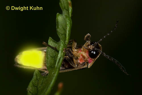 1C24-763p    Pyralis Firefly, Lightning Bug Male,  Photinus spp.
