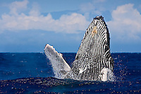 Humpback whale (Megaptera novaeangliae) breaching with Maui's Haleakala in the background