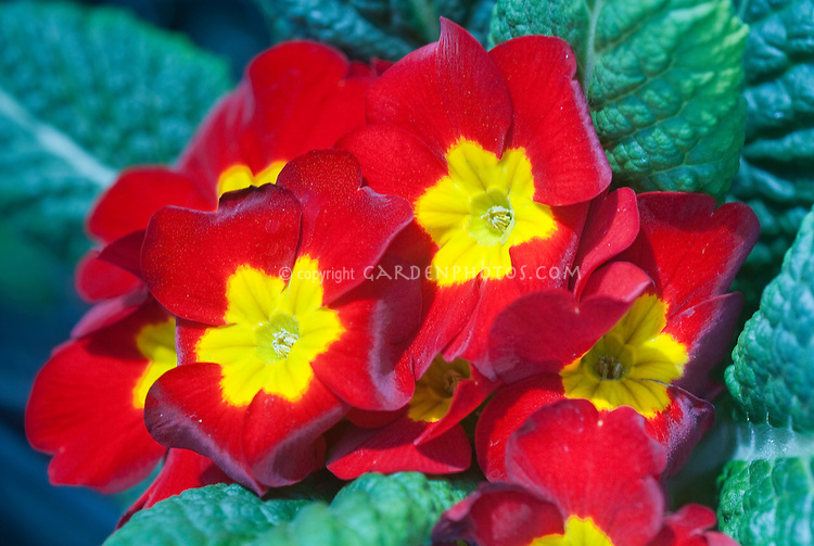 Primula Piano Red primroses in spring bloom, red with yellow center