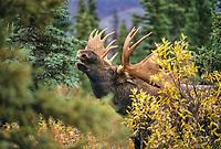 Large bull moose scents for female during mating season, tundra and taiga, Denali National Park, Alaska