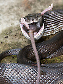 Black Rat Snake Pantherophis obsoletus) eating a Deer Mouse, (Peromyscus).