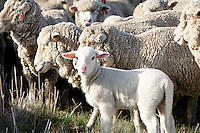 Marino lamb in flock<br />