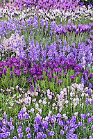 Lavandula, mix of types of lavender herbs, English, Spanish, different colors, purple, blue, white, pink, L. stoechas, L. angustifolia, dwarf, tall, differing heights, planted en masse together.