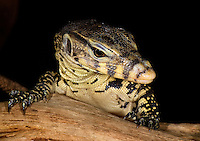 Water Monitors (Varanus salvator) are perhaps the most common monitor lizards in Asia, captive.
