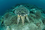 Male green sea turtle (Chelonia mydas)