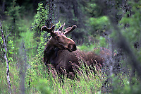 A young bull moose, a denizen of an urban wilderness forages amid the woodlands of Campbell Tract, in Anchorage, Alaska. Moose, along with bear, wolf, and other mammals, make their home in the tract's 730 acres, a natural area popular with outdoor enthusiasts.