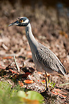 Ding Darling National Wildlife Refuge, Sanibel Island, Florida; an adult Yellow-crowned night-heron (Nyctanassa violacea) bird forages for food at the edge of the mangroves © Matthew Meier Photography, matthewmeierphoto.com All Rights Reserved