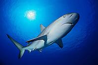 Caribbean reef shark, Carcharhinus perezi, Gramd Bahama, Bahamas, Caribbean Sea, Atlantic Ocean (dc)