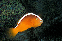 Orange Anemonefish, Amphiprion sandaracinos, hovering above its host anemone.  Note parasite residing inside the mouth, where the toungue would normally be seen. Bunaken Island, N. Sulawesi, Indonesia, Pacific Ocean