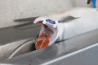 """Red salmon being pressure bled as part of the """"at sea processing""""  procedure during a 12 hour sockeye and king salmon opener on the Copper River Delta, southcentral, Alaska."""