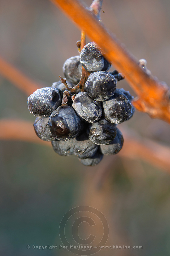 Grape bunch in frost. Limoux. Languedoc. France. Europe.