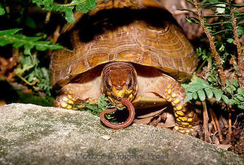 Large ornate box turtle, Terrapene ornata ornata, turtle eating anearthworm in garden among ferns and rocks, intense and close up