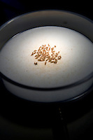 Small flies, put asleep by CO2, lie under the light of a microscope at Dr. Thierry Heidmann's cancer research department at the Institut Gustave Roussy in Villejuif, France, 6 May 2008.